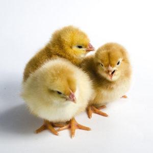 chicken-2924186_1280